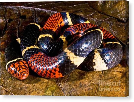 Coral Snakes Canvas Print - Surinam Coralsnake by Dant� Fenolio