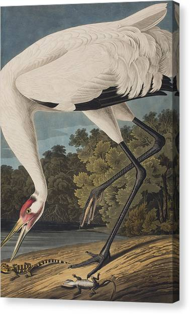 Salamanders Canvas Print - Whooping Crane by John James Audubon