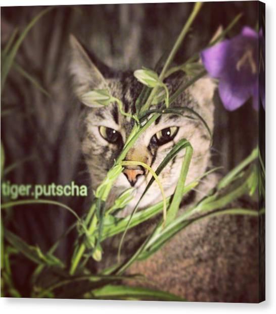Tigers Canvas Print - Instagram Photo by Putscha Tiger