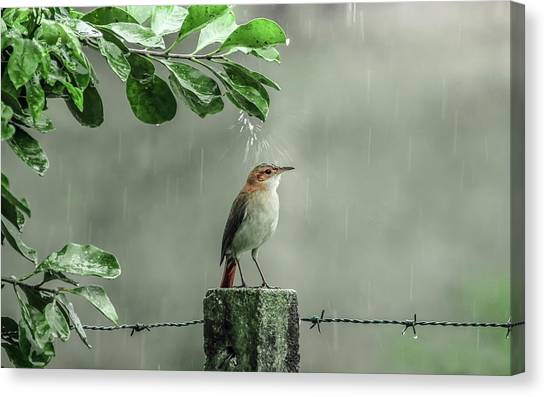 Wrens Canvas Print - Bird by Jackie Russo