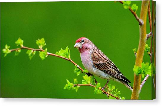 Sparrows Canvas Print - Bird by Super Lovely