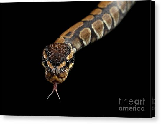 Ball Pythons Canvas Print - Ball Or Royal Python Snake On Isolated Black Background by Sergey Taran