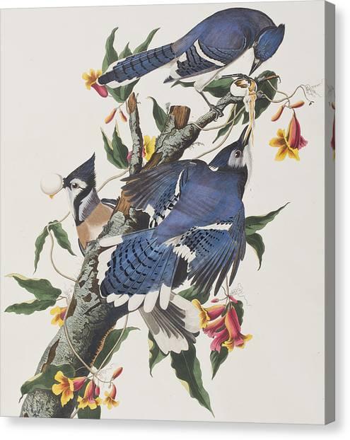 Bluejays Canvas Print - Blue Jay by John James Audubon