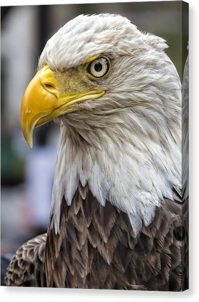 Challenger The Bald Eagle Canvas Print