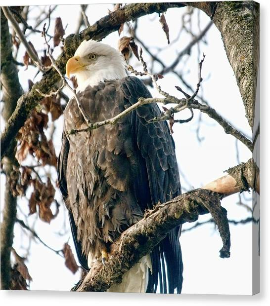 Eagle In A Tree Canvas Print by Clarence Alford