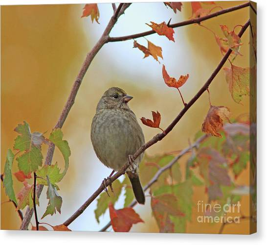 Canvas Print - Golden-crowned Sparrow by Gary Wing