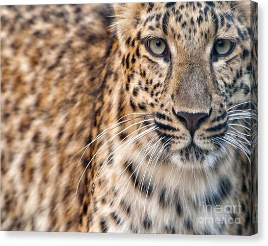 Leopard Canvas Print by White Stork Gallery