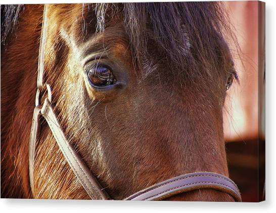 Morgan Horse Canvas Print by JAMART Photography