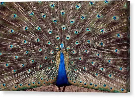 Pheasants Canvas Print - Peacock by Mariel Mcmeeking