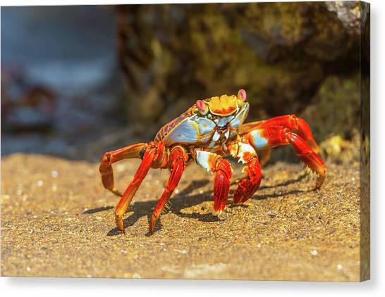 Sally Lightfoot Crab On Galapagos Islands Canvas Print