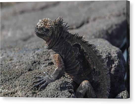 Santiago Marine Iguana Canvas Print by Harry Strharsky