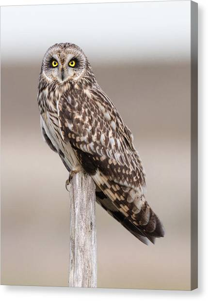 Owls Canvas Print - Short Eared Owl by Ian Hufton