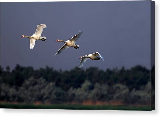 Storks Canvas Print - Swan by Mariel Mcmeeking