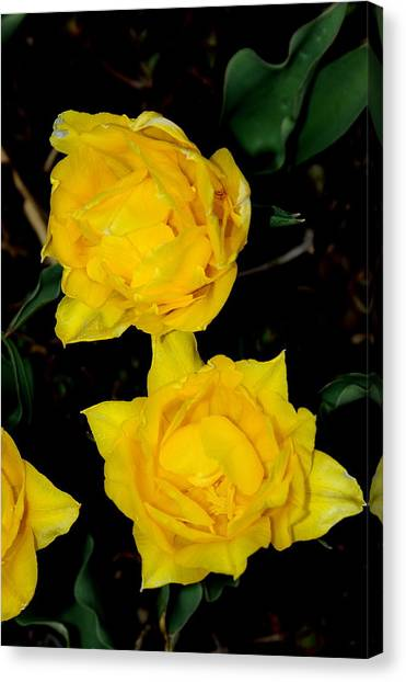 Yellow Flowers Canvas Print by Patrick  Short