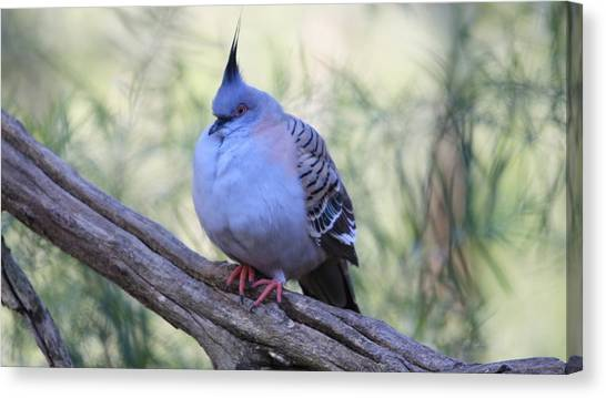Dove Canvas Print - Bird by Jackie Russo