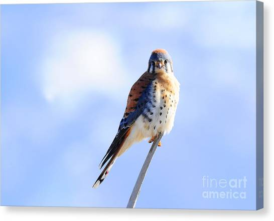 American Kestrel Canvas Print by Dennis Hammer