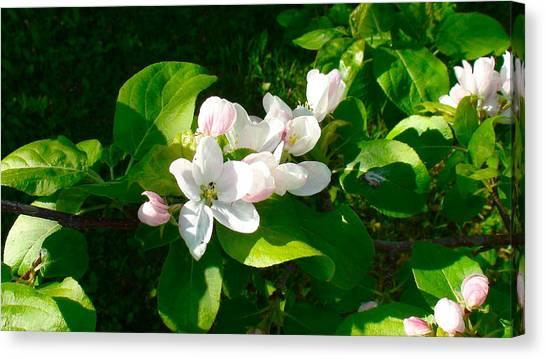 Apple Blossoms Canvas Print