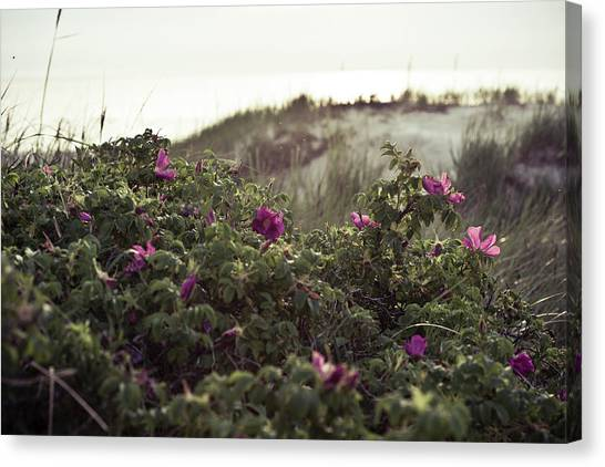 Rose Bush And Dunes Canvas Print