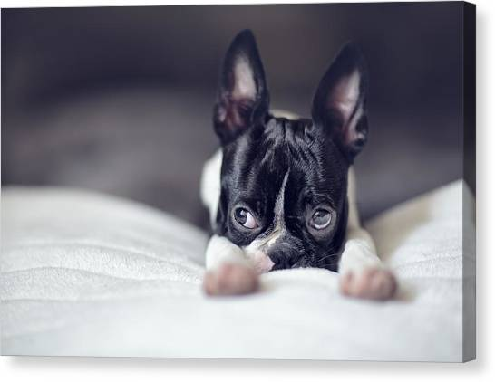 Boston Canvas Print - Boston Terrier Puppy by Nailia Schwarz