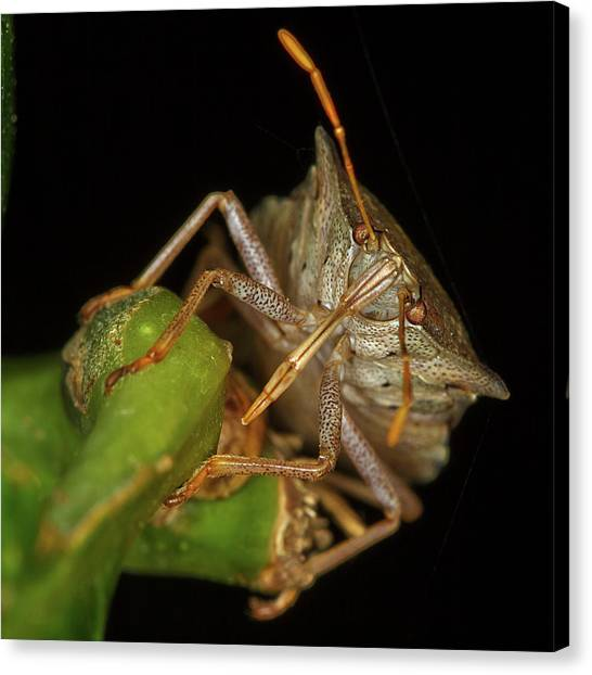 Grasshoppers Canvas Print - Insect by Mariel Mcmeeking