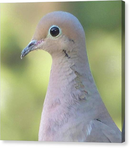 Songbirds Canvas Print - Mourning Dove by Laurie Gresch