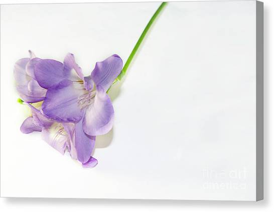 Purple Freesia Canvas Print
