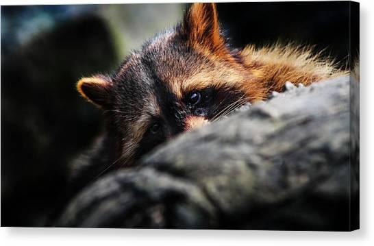 Raccoons Canvas Print - Raccoon by Mariel Mcmeeking