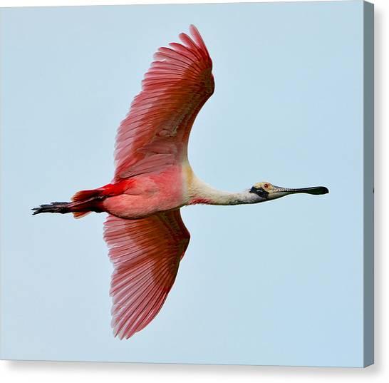Roseate Spoonbill In Flight Canvas Print by Lindy Pollard