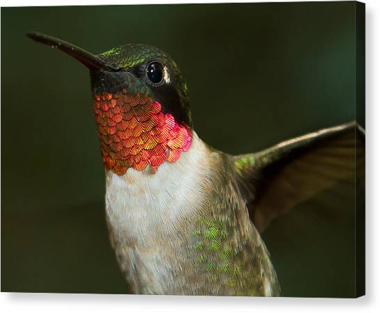 Canvas Print featuring the photograph Ruby-throated Hummingbird by Robert L Jackson