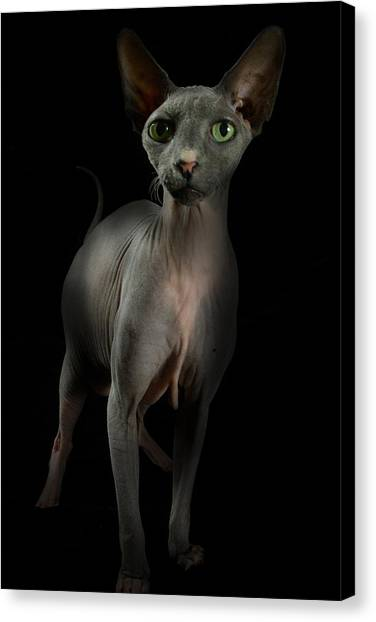 Canvas Print featuring the photograph Sphynx Cat Portrait by Glenda Wright
