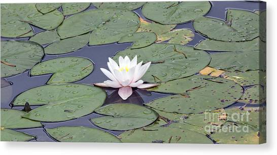 Water Lily In The Pond Canvas Print