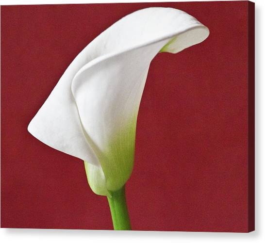 White Calla Canvas Print