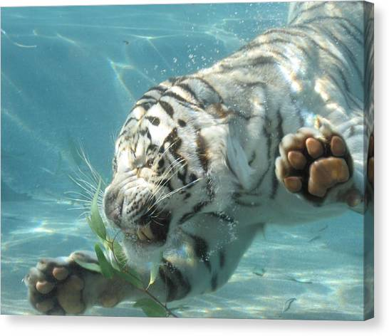 Tiger Sharks Canvas Print - White Tiger by Jackie Russo