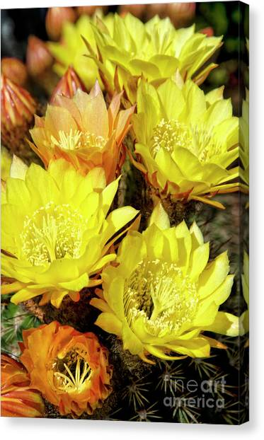 Yellow Cactus Flowers Canvas Print