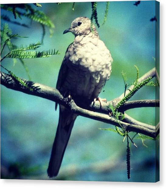 Sonoran Desert Canvas Print - Dove by Laurie Gresch
