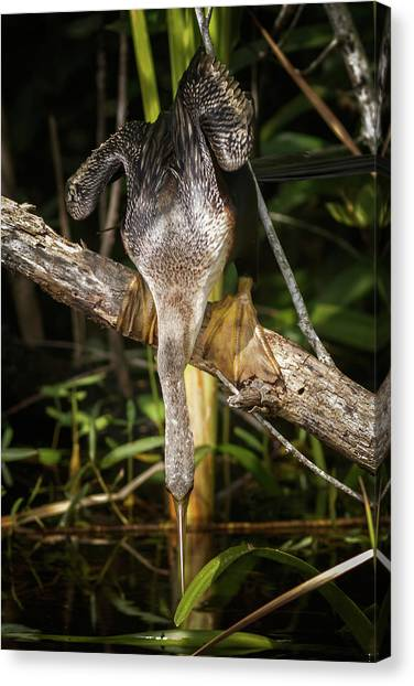 Anhinga Shark Valley Everglades Florida Canvas Print