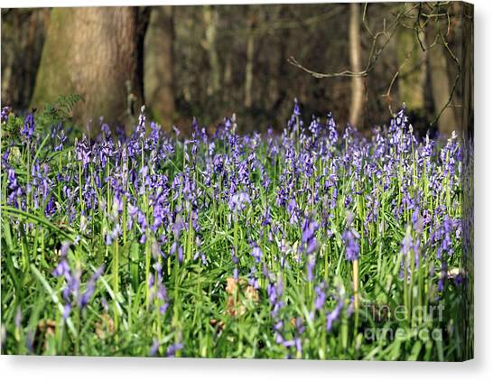 Bluebells At Banstead Wood Surrey Uk Canvas Print