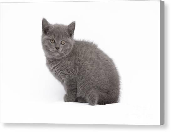 Chartreuxes Canvas Print - Chartreux Kitten by Jean-Michel Labat