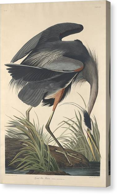 Ibis Canvas Print - Great Blue Heron by Dreyer Wildlife Print Collections