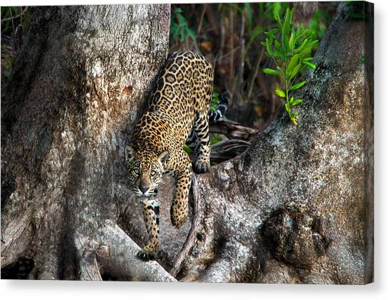 The Pantanal Canvas Print - Jaguar Panthera Onca, Pantanal by Panoramic Images