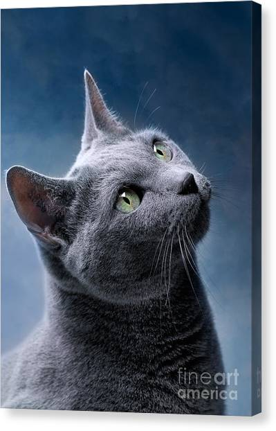 Purebred Canvas Print - Russian Blue Cat by Nailia Schwarz