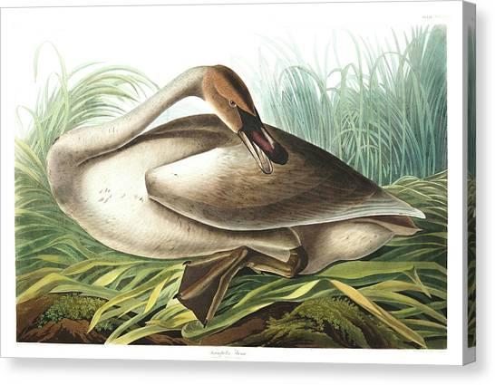 Trumpeters Canvas Print - Trumpeter Swan by John James Audubon