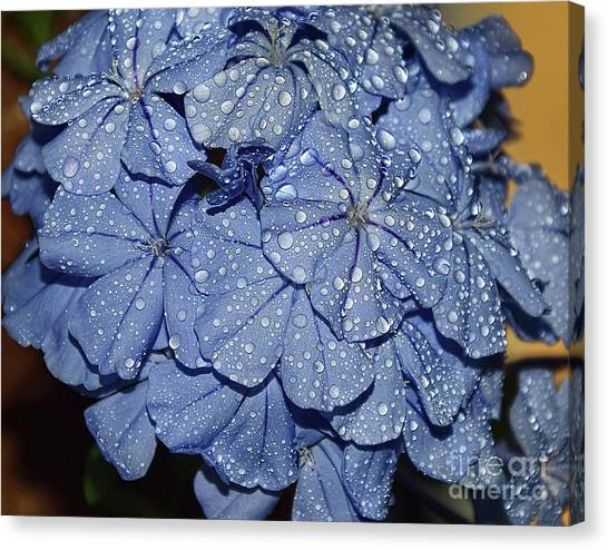 Blue Plumbago Canvas Print