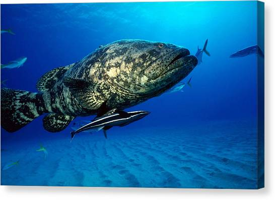 Sea Turtles Canvas Print - Fish by Jackie Russo