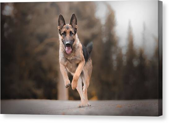 German Shepherds Canvas Print - German Shepherd by Super Lovely