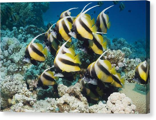 Red Sea Bannerfish Canvas Print by Georgette Douwma