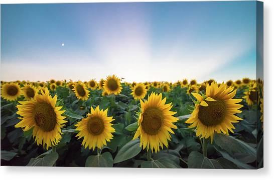 Sunflower Sunset Canvas Print