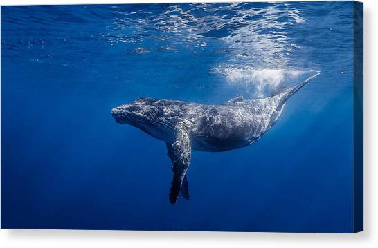 Sea Turtles Canvas Print - Whale by Mariel Mcmeeking