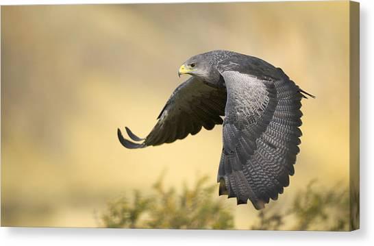 Hawks Canvas Print - Bird by Mariel Mcmeeking