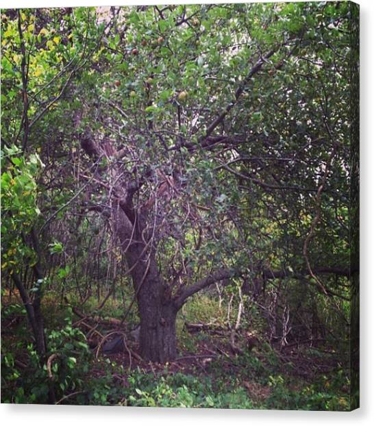 Apple Tree Canvas Print - Forgotten Apple by Salamander Woods Studio-Homestead